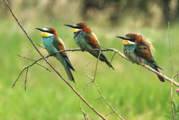 Bee-eaters-270617-Sean-Browne_623-8fdb614