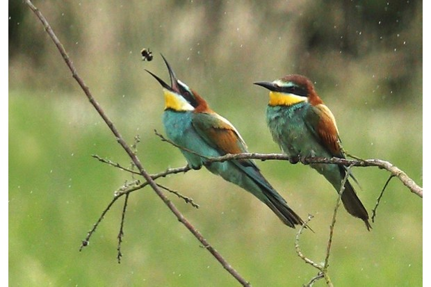 Bee-eaters_623-1807b06