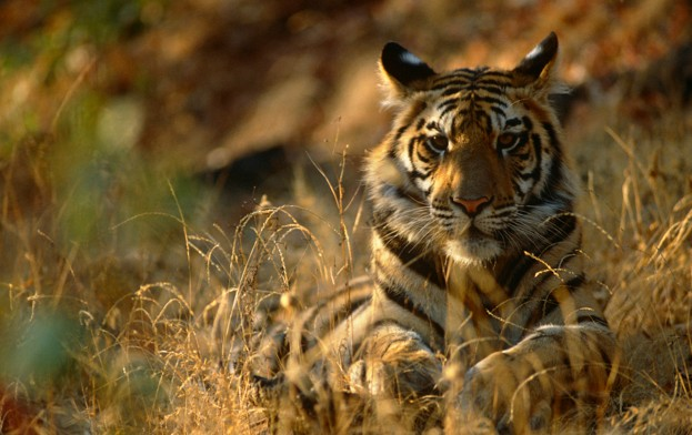Bengal tiger in Bandhavgarh National Park, Madhya Pradesh, India © Staffan Widstrand / WWF