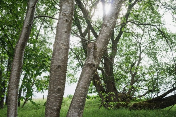 Landscape of birch trees and green vegetation in Scotland