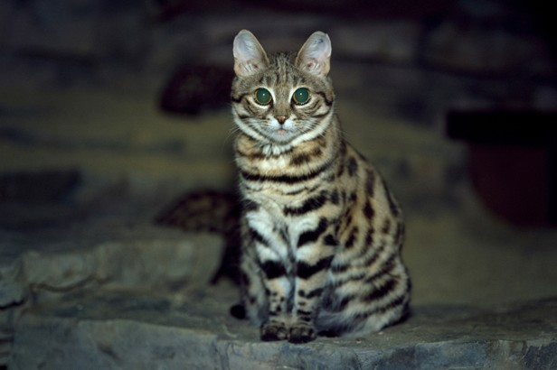 Black-footed cats are also known as small-spotted cats © Werner LAYER / Gamma-Rapho / Getty