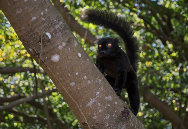 Black-lemur_Marco-Pozzi-Photographer_Getty-Madagascar-male_623-3822f79
