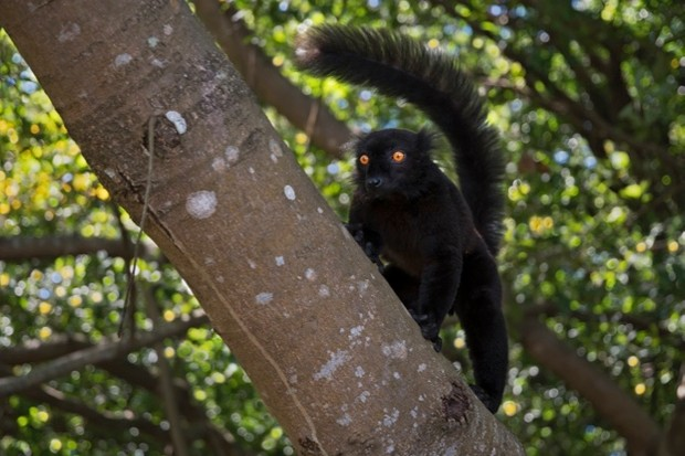 Black-lemur_Marco-Pozzi-Photographer_Getty-Madagascar-male_623-3822f79
