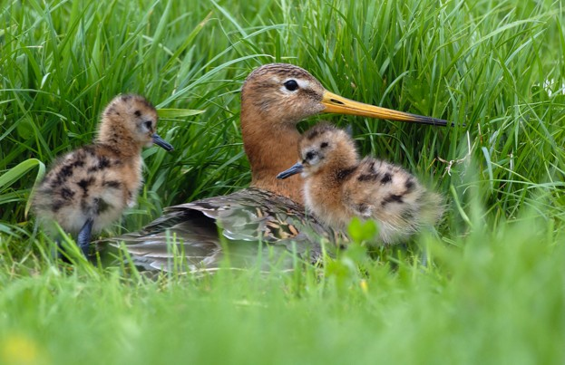 Black20Tailed20Godwit20adult202620chicks20-20Will20Meinderts2028FLPA29_623-22523e6