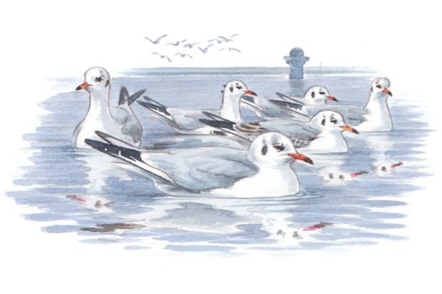 Blackheaded-Gull_623_Mike-Langman-a8c8bb1