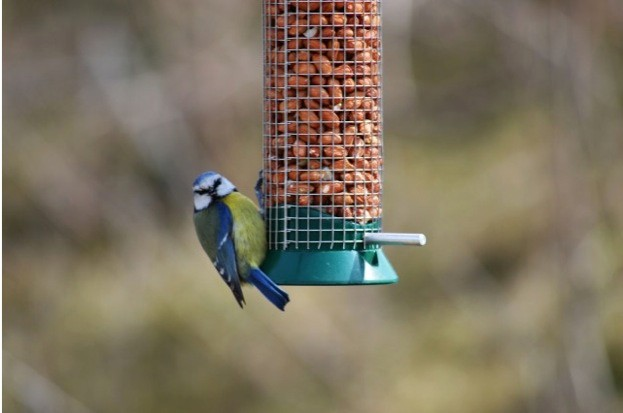 Blue-Tit-on-Feeder-by-Claire-Burgess_623-ef7cd29