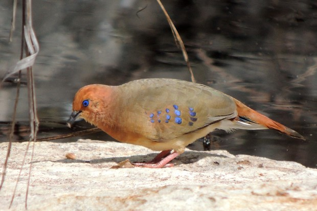 The blue-eyed ground-dove was rediscovered in 2015. © SAVE Brasil