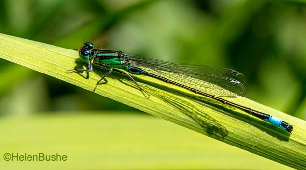 Blue-tailed-Damselfly.-Helen-Bushe_623-bed142d