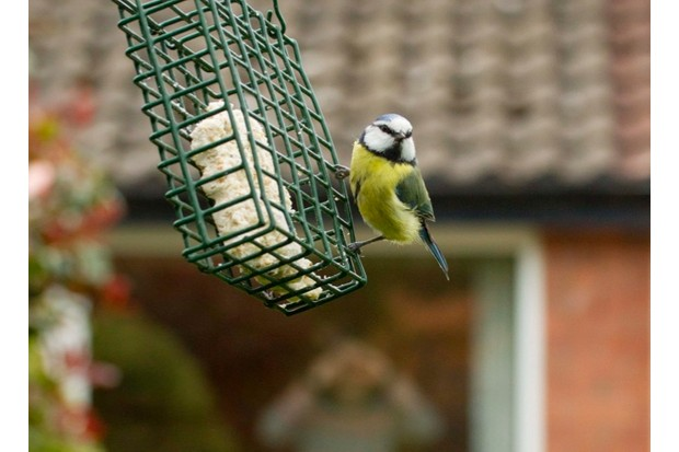 Blue tit on feeder with house in background