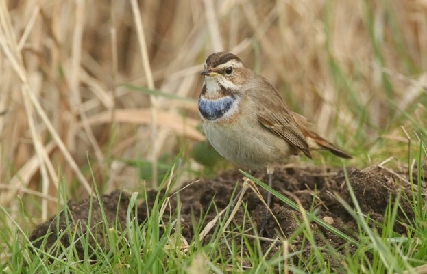 A stunning Bluethroat (Luscinia svecica) in the grass searching for food.