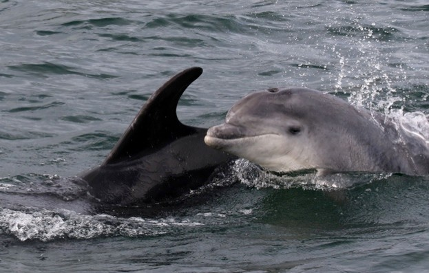 Bottlenose-dolphins-off-Anglesey_Peter-EvansSWF_623-a161ac7