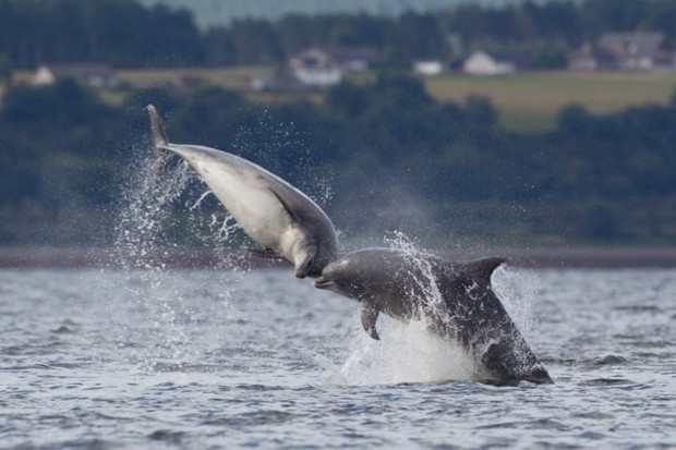 Bottlenose-dolphins_ferry_Tim-StentonBarcroft-MediaGetty623-423910a