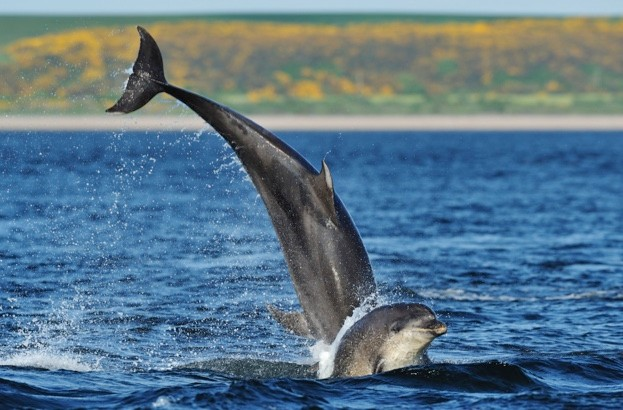Bottlenosed dolphins (Tursiops truncatus) one jumping the other surfacing, Moray Firth, Nr Inverness, Scotland, May 2008, Sequence 2/4