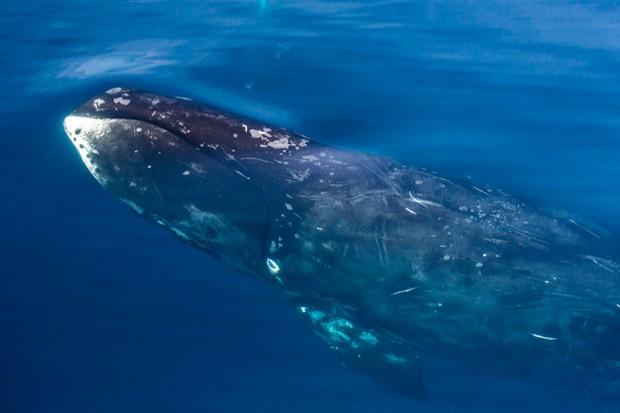 Bowhead-whale_Michael-Nolanrobertharding_Getty-Canada_623-5000f4b