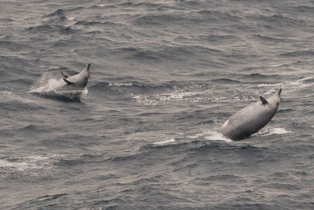 Two of the four True's beaked whales spotted © ORCA