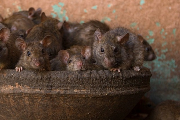 How to get rid of mice and rats in your house - Discover
