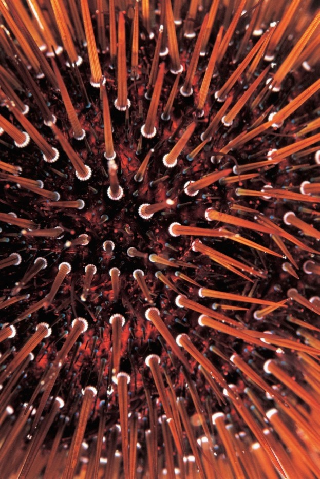Sea urchins (here a brown sea urchin) have provided inspiration for human engineers © Wolfgang Kaehler / Getty