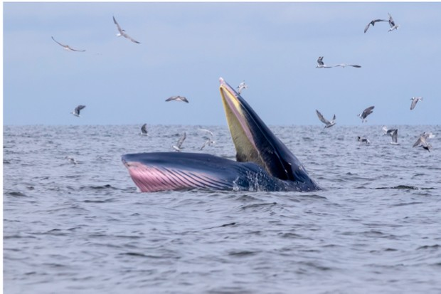 Bryde's whale with seagull in gulf of Thailand