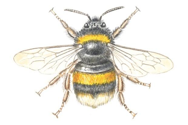 Bufftailedbumblebee_FelicityRoseCole_623-17514b8