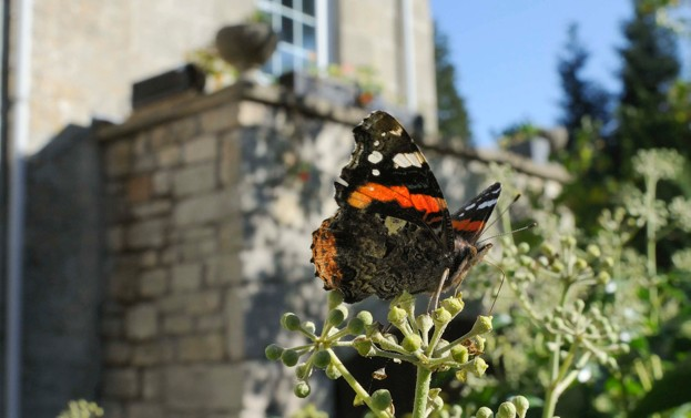 Red Admiral butterfly (Vanessa atalanta) feeding on Ivy flowers (Hedera helix), Wiltshire garden, UK, April.