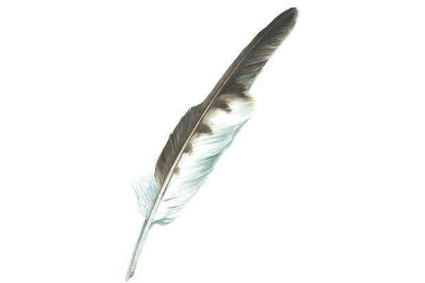 Buzzard feather