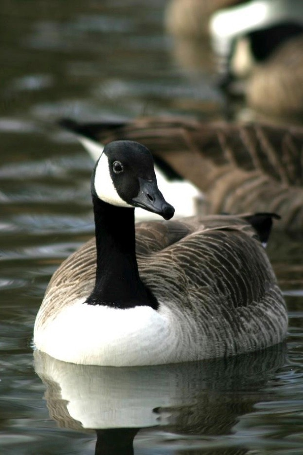 Canada geese undertake moult migration © Dave Porter/ Getty