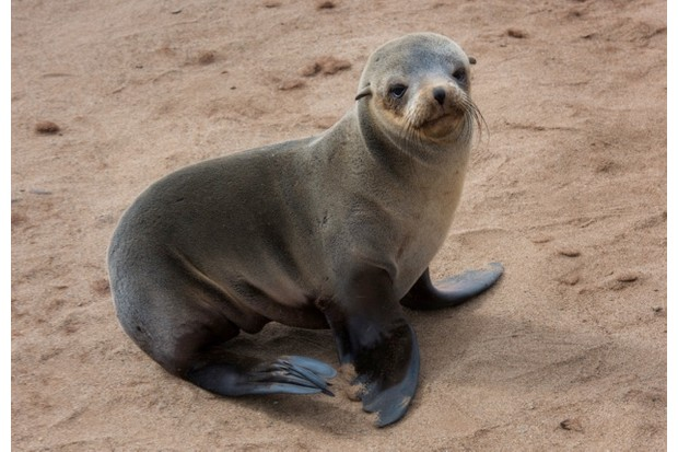 The handsome Cape Fur Seal from Cape Cross Seal Reserve, the largest colony of seal in the world. In Skeleton coast, Namibia