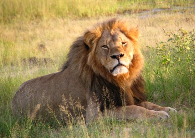 When Cecil the lion was shot in 2015, there were a number of debates about, and protests against, trophy and big-game hunting ©Wikimedia / Creative Commons
