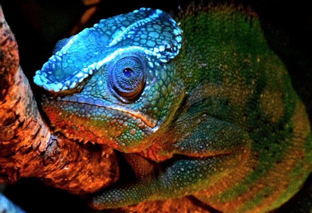 Chameleon_January2018_623-f88a581