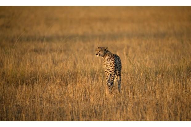 Cheetah in Serengeti National Park, Tanzania © Godong / UIG / Getty