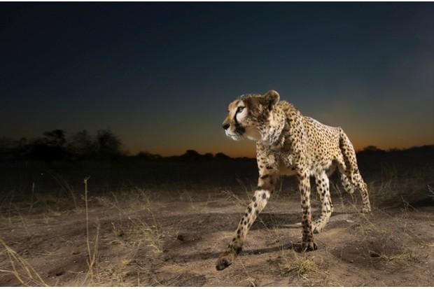 Cheetah20Gallo20Images20Heinrich20van20den20Berg20Getty_623-a4bf4e5