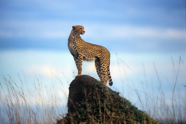 Cheetah on a termite mound, Masai Mara National Reserve, Kenya (Acinonyx jubatus)