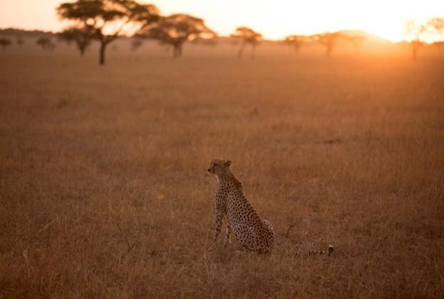 Cheetah_Sahara-Sahel_623-3bacf3e