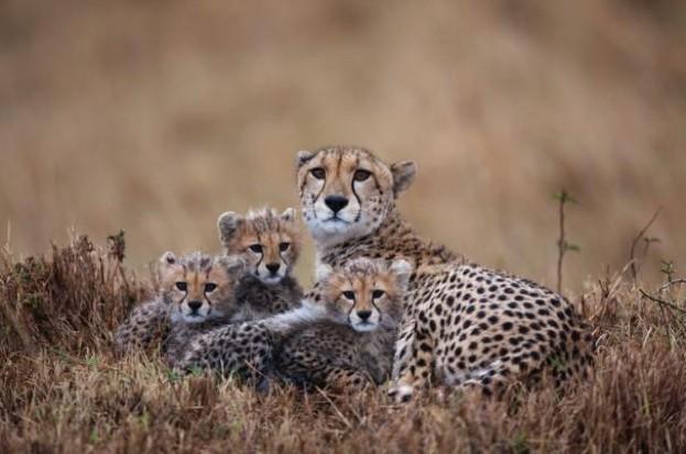 CheetahfamilyPaulSoudersGettyMasaiMaraGameReserveKenya_623_0-1ded2a0
