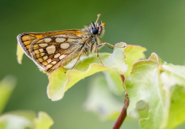 Chequered-Skipper_Adam-Gor-Butterfly-Conservation-2_623-dc03e8a