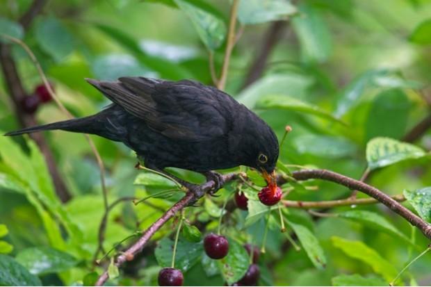 Common blackbird (Turdus merula) male eating cherries from cherry tree