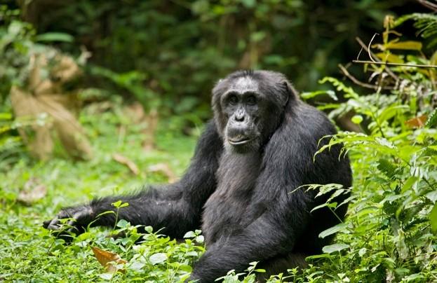 Chimpanzee at Ngogo Chimpanzee Project in Uganda © Danita Delimont / Getty