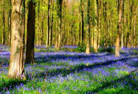 A vibrant display of bluebells is an unmissable spectacle. From late April to mid-May these delicate purple blooms carpet woodlands, churchyards and gardens across the UK – and are irresistibly photogenic