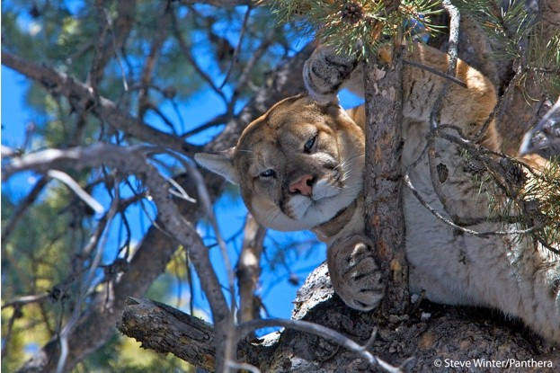 Collared cougar in a tree © Steve Winter/Panthera