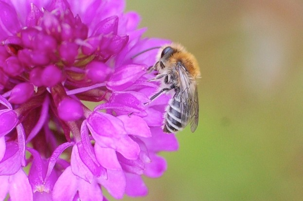 Colletes-floralis_Michael-Bell_623-29b3a3a