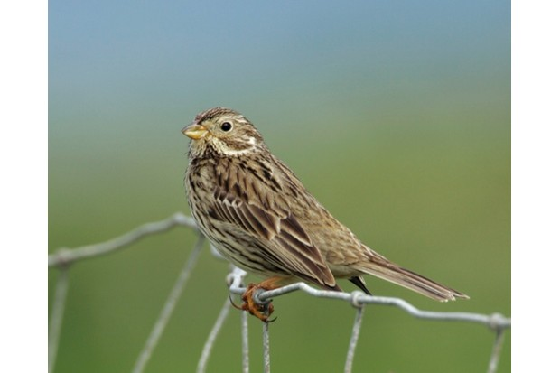 Corn Bunting Recovery Project. Cornwall, England. June 2008.