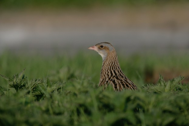 A corncrake in the Hebrides © MyLoupe / UIG / Getty