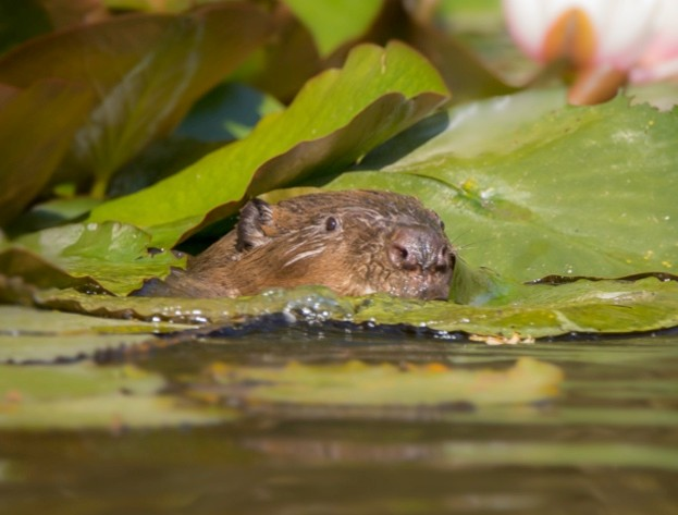 Cornish-beaver-amongst-lily-pads-in-new-home.-Photo-by-Jack-Hicks_623-e599af4
