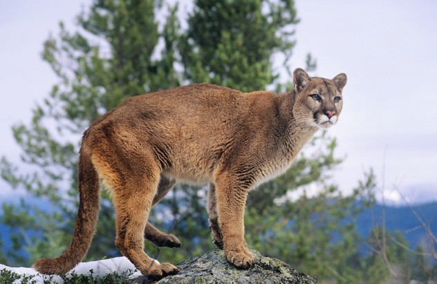 The cougar's range in North America has been greatly reduced, and the cats have been declared extinct in Florida. ©IPGGutenbergUKLtd/iStock