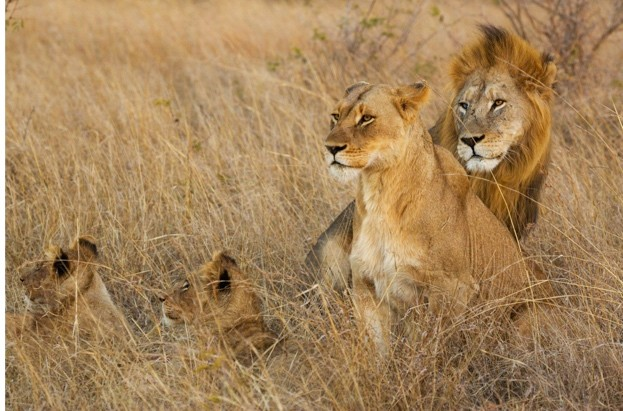 A lion, lioness and their young cubs rest in the grasslands of the Phinda Game Reserve.