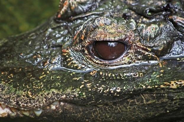 Crocodile_Rob-Tye-2-c589fa6