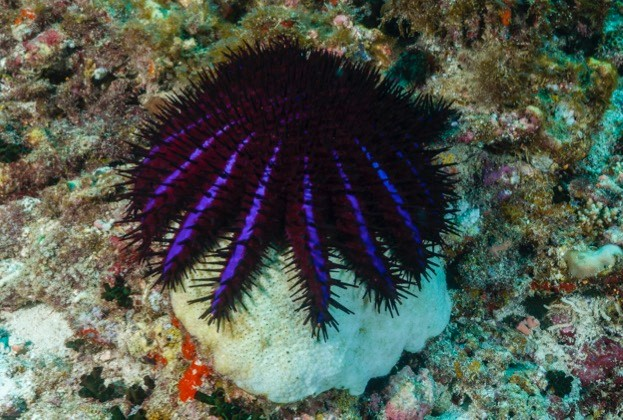 Crown-of-Thorns Starfish, Acanthaster planci, North Male Atoll, Maldives