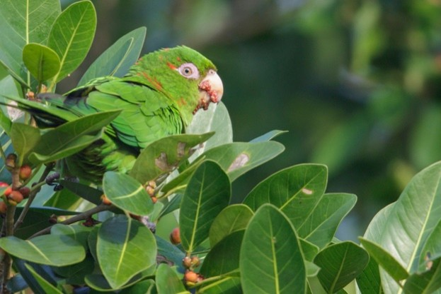 Cuban Parakeet (Psittacara euops) perched on a branch in Cuba.
