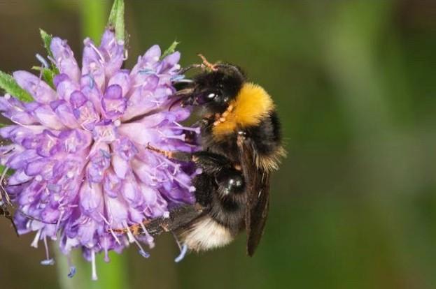 Cuckoo-Bumblebee-Hans-Lang_623_0-83ba69f