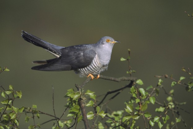 Cuckoo-_Mark-Hamblin_Getty-silver-birch-Derbyshire_623-8b2ed58